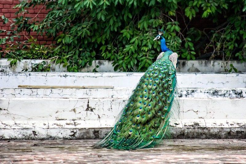 peacocks at st. john the divine
